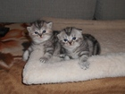 Фотография в Кошки и котята Продажа кошек и котят Продам котят шотландской породы (страйт). в Калуге 5000