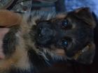 Изображение в   Продам щенков немецкой овчарки привиты по в Калуге 15000
