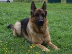 Увидеть изображение Вязка собак Кобель немецкой овчарки для вязки 40051602 в Калуге