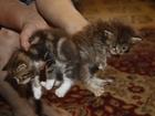Скачать фотографию Отдам даром - приму в дар Котята(1 мес): кошка и кот, Приучены к лотку и еде, 66942475 в Калуге