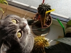 Просмотреть изображение Вязка кошек Кот шотландец-прямоушка, Вязка, 70617168 в Калуге