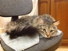 Увидеть фото Вязка кошек Ищем котика для симпатичной годовалой кошечки 71733610 в Калуге