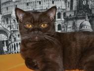 Вязка котов 1, 5 годовалый скоттиш страйт с родословной и с паспортом приглашает