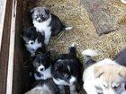 Изображение в Собаки и щенки Продажа собак, щенков Продам щенков Сибирской Хаски и щенков русско-европейской в Канаше 4000