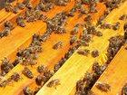 Фото в   Продаю пчел 20 семей - с молодыми матками, в Нурлате 4500