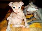 Фотография в Кошки и котята Продажа кошек и котят Если Вы мечтаете о необычном, преданном и в Казани 10000