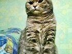 Фотография в Кошки и котята Вязка Шотландский вислоухий котик-красавиц 1 год в Казани 1500