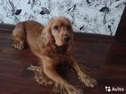 Фото в Собаки и щенки Вязка собак Молодой кобель английского кокер-спаниеля, в Казани 0