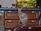 Смотреть изображение Вязка Молоденькая Казанская девочка донская сфинкс ищет опытного котика, 38560551 в Казани