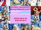 Сибирский хаски фото в Казани