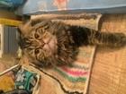 Свежее фотографию Вязка кошек Ищем девочку для нашего кота 51297025 в Казани