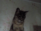 Просмотреть фотографию Вязка кошек Кошке Мусе нужен жених, просто хороший кот 67660009 в Казани