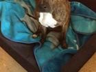Увидеть фото Найденные питомцы Найдена собака стафф, девочка 68516693 в Казани