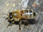Увидеть foto Другие животные Пчелопакеты Карпатка Бесплатная доставка 32308400 в Кемерово