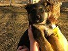 Фото в Собаки и щенки Продажа собак, щенков Продам, щенков немецкой овчарки. Щенки родились в Ленинск-Кузнецком 5000