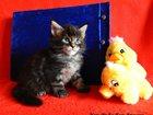 Фотография в Кошки и котята Продажа кошек и котят Питомник мейн кунов Кун-Ви-Ле-Кун г. Кемерово в Кемерово 0