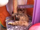 Изображение в Кошки и котята Вязка Ищем кота для вязки с кошкой курильский бобтейл в Кемерово 0