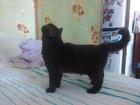 Фотография в Кошки и котята Вязка Шоколадная красавица на первую вязку ищет в Кемерово 0