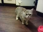 Изображение в Кошки и котята Вязка Ищем жениха для нашей красавцы в Кемеров в Кемерово 0