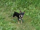 Смотреть фотографию Вязка собак Кобель для вязки, Карликовый пинчер 56228572 в Кемерово