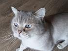 Смотреть фотографию  Отдам даром кота Бакса (британец, голубые глазки) 66416751 в Кемерово