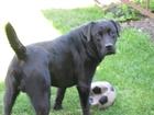 Смотреть изображение Вязка собак Лабрадор черный кобель для вязки 69111898 в Кемерово