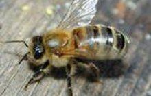 Пчелопакеты Карпатка Бесплатная доставка