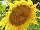 Фото в Рыбки (Аквариумистика) Растения Реализуем семена подсолнечника: НК Брио (Сингента), в Киеве 1