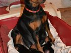 Фото в Собаки и щенки Продажа собак, щенков Красивые, спокойные малыши от родителей - в Кирове 25000