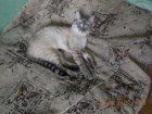 Изображение в   Отдам кота Балинеза (Тайский), 1 год. В квартиру в Кирове 10