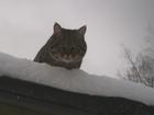 Смотреть изображение Вязка Молодой кот ждет кошечку 39254702 в Кирове (Кировская область)