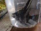 Уникальное изображение Аквариумные рыбки Скалярия 38953571 в Кольчугино
