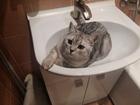 Фотография в Кошки и котята Вязка Шотландский кот (1, 5 года) ищет невесту в Коломне 0