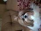 Фотография в Собаки и щенки Вязка собак Кобель с отличной родословной приглашает в Коломне 0