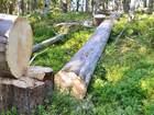Уникальное фотографию  Продам бревна сухостоя, Карельская сосна, Кело, 34540076 в Петрозаводске