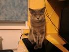 Фотография в Кошки и котята Вязка Голубой британец, клубный с родословной, в Комсомольске-на-Амуре 0
