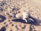 Скачать бесплатно foto Вязка собак Чихуахуа мини ищет мальчика для случки, 38398847 в Комсомольске-на-Амуре