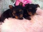 Фотография в Собаки и щенки Продажа собак, щенков Продаются щенки йоркширского терьера. Мама в Конаково 15000