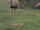 Фотография в   Продается семья страусов эму, возраст 5лет. в Кораблино 100000