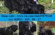 Недорого продам ярких щеночков чёрного терьера!