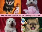 Фото в Собаки и щенки Продажа собак, щенков Очаровательные шпицы в продаже у нас по хорошим в Костроме 111