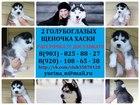 Фотография в Собаки и щенки Продажа собак, щенков Черно белых хаски с небесными глазами продам. в Костроме 0