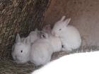 Скачать фото Продажа собак, щенков Кролики белые 34842389 в Костроме