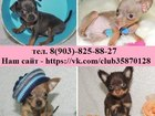 Изображение в Собаки и щенки Продажа собак, щенков Недорого продам чистокровных щенков той-терьера в Костроме 6500