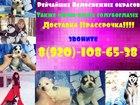 Сибирский хаски фото в Костроме