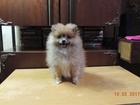 Фотография в Собаки и щенки Продажа собак, щенков Красивая, ласковая девочка от чистокровных в Костроме 25000