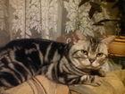 Изображение в   -950 -249-54-58-Забавные котейки, скоттиш в Вичуге 2500