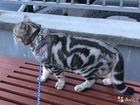 Уникальное фотографию Продажа кошек и котят кот британец ждёт невесту 1500 котята от 2000 41250658 в Костроме