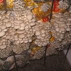 Мицелий гриба вешенка и шампиньона и готовые блоки