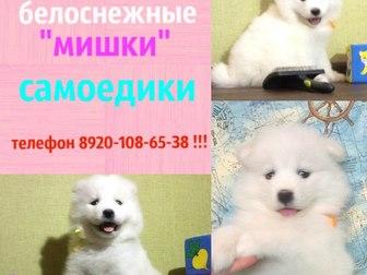 Фотки и картинки Самоедская лайка смотреть в Костроме